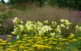 Achillea_GOLD_CORONATION_hemerocalis_LIGHT_THE_WAY_deschampsia_SCHOTLAND.JPG