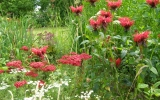 Achillea_RED_VELVET_ir_monarda_JACOB_CLINE.JPG