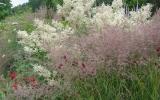 Calamagrostis_OVERDAM_priekyje.JPG
