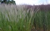 Calamagrostis_ac._WALDENBUCH_ir_OVERDAM_1.JPG
