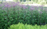 Solidaster_luteus_ir_Eupatorium_PURPLE_BLUSH.JPG